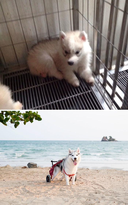 Этот пес хаски родился без подушечек на лапах. Ему повезло: он нашел самоотверженного хозяина. Сейчас пес передвигается в инвалидной коляске, и, несмотря на это, счастлив! собаки, спасение, счастливый конец