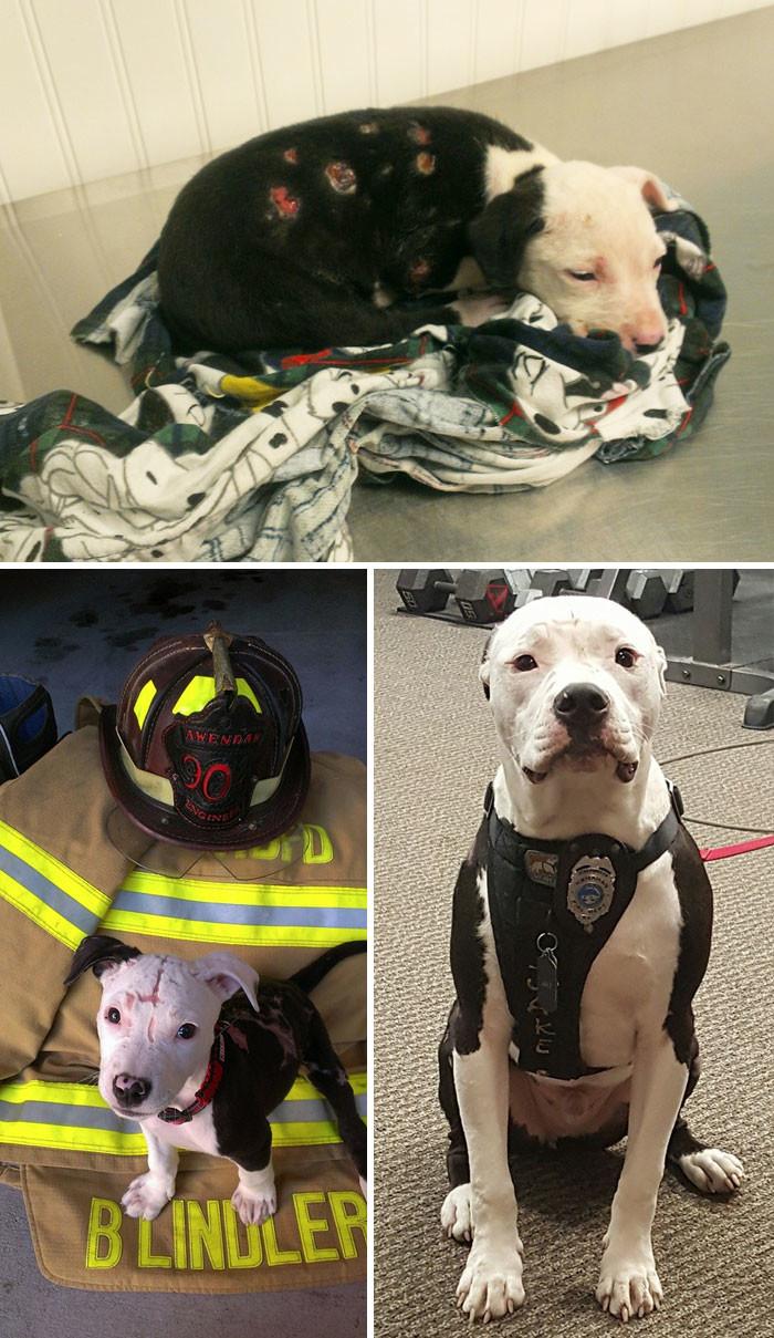 Этот щенок был спасен из огня. У него было обожжено 75% поверхности тела, обгорели подушечки лап. Пожарный, спасший пса, взял его домой, и он тоже стал пожарным собаки, спасение, счастливый конец