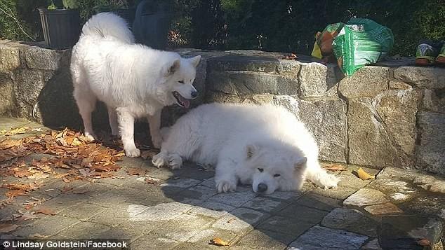 Лучшие друзья: щенки, которых ранее спасли в Южной Корее, встретились после долгой разлуки самоедская лайка, собак есть нельзя