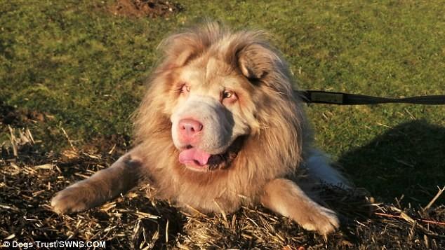 Не так давно пес попал в приют Норфолка  лев, шарпей