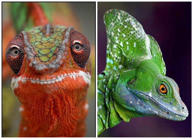 На сегодняшний день в мире насчитывается почти 6 000 видов хвостатых рептилий интересное, рептилии, ящерицы