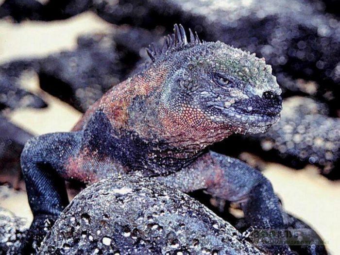 Морские игуаны интересное, рептилии, ящерицы