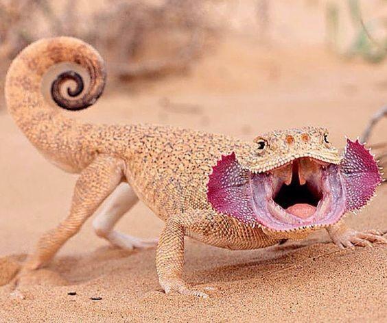 Круглоголовка (PHRYNOCEPHALUS) интересное, рептилии, ящерицы