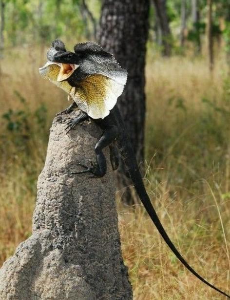 Плащеносная ящерица — ящерица из семейства агамовых. В роде Chlamydosaurus является единственным видом. интересное, рептилии, ящерицы