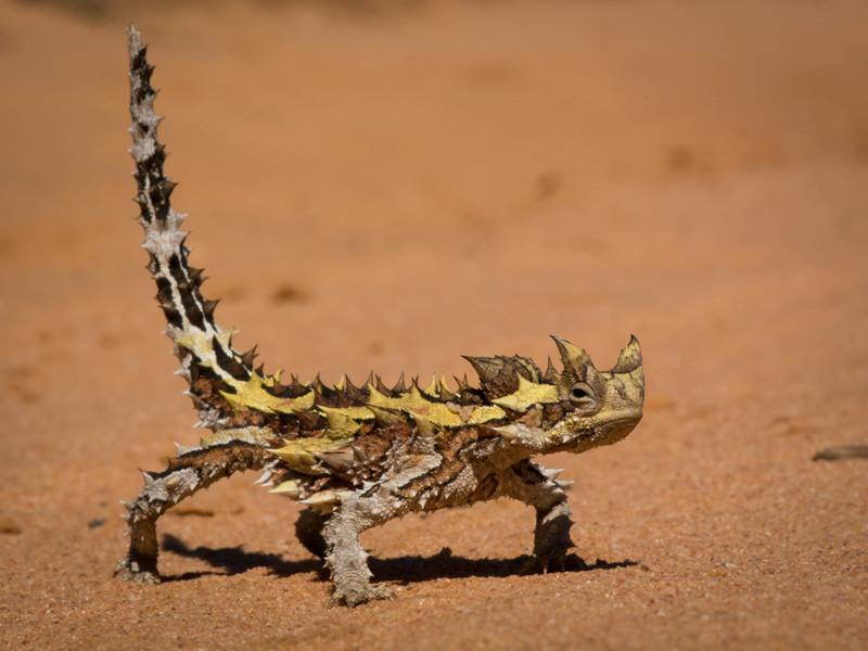 Молох (MOLOCH HORRIDUS) интересное, рептилии, ящерицы