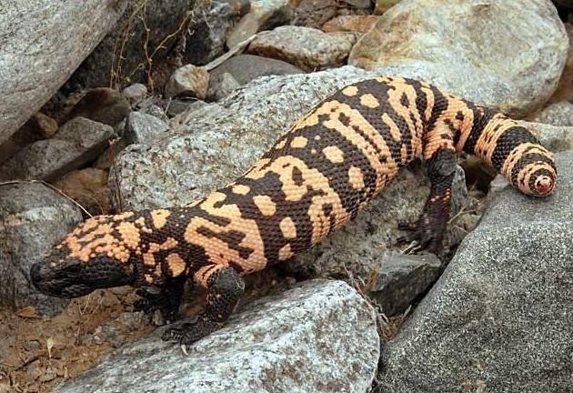 Ящерица Монстр Гила (HELODERMA SUSPECTUM) интересное, рептилии, ящерицы