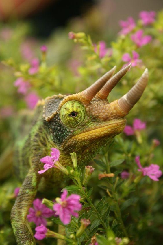 Хамелеон интересное, рептилии, ящерицы