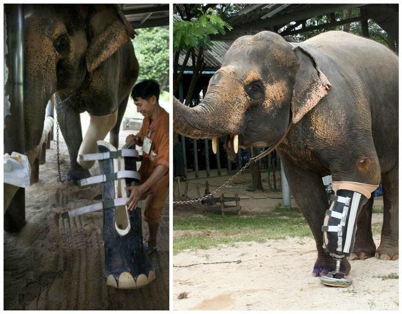Слониха Мотала наступила на мину и... Сегодня она живет с протезом и вполне счастлива жизнью. доброта, животные, протезы, сострадание