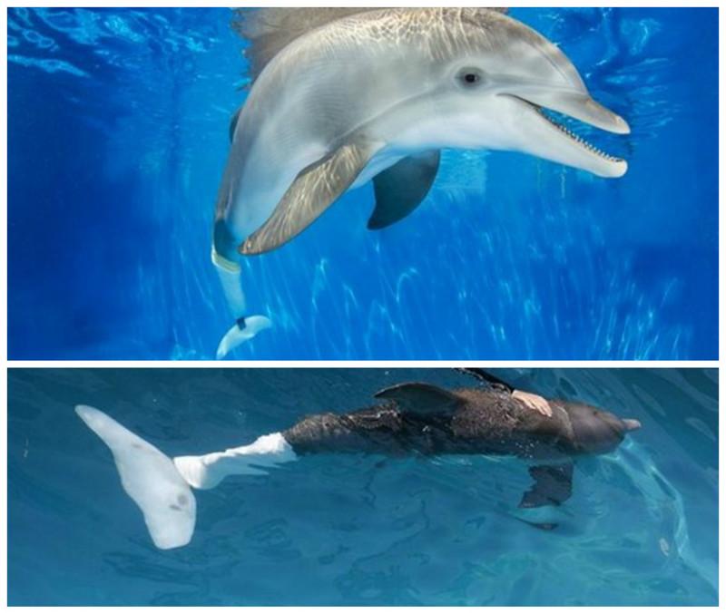 Дельфину Винетеру повредили хваос сетью для ловли крабов. Дельфин сам приплыл к людям за помощью. И ему сделали протез хвоста. Сегодня тысячи людей приезжают посмотреть на жизнерадостного дельфина доброта, животные, протезы, сострадание
