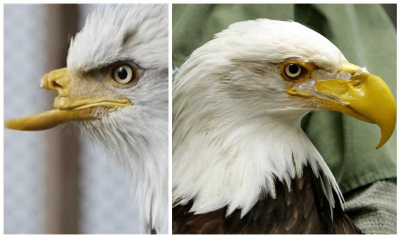 Белоголовый орлан Красавица был найден практически без клюва. 3D печать помогла и в этом случае доброта, животные, протезы, сострадание