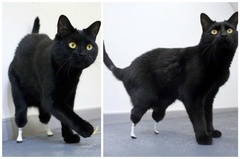 Коту Оскару отрезало обе лапки газонокосилкой. Но сегодня это живой и активный кот с протезами на задних лапках доброта, животные, протезы, сострадание
