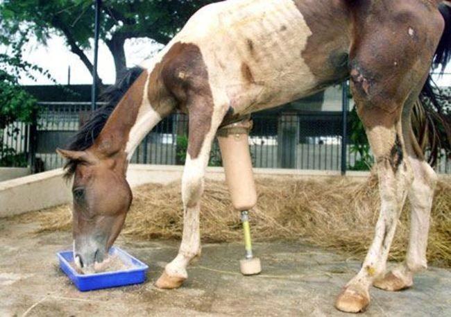Мачо нашли на дороге - он был очень сильно исхудавшим и его передняя нога была повреждена настолько, что ее пришлось удалить. Но ему сделали протез и он снова может скакать. доброта, животные, протезы, сострадание