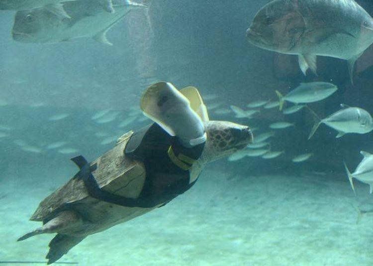 Черепаха Ю Чан попала в рыболовную сеть и потеряла обе конечности. Специальный корсет с двумя протезами помог черепахе почувствовать жизнь заново доброта, животные, протезы, сострадание