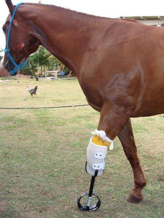 Почти та же участь постигла и Молли, однако сердечная доброта людей дала лошади новую жизнь. доброта, животные, протезы, сострадание