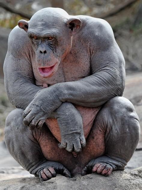 3. Шимпанзе животные, лысые, милота