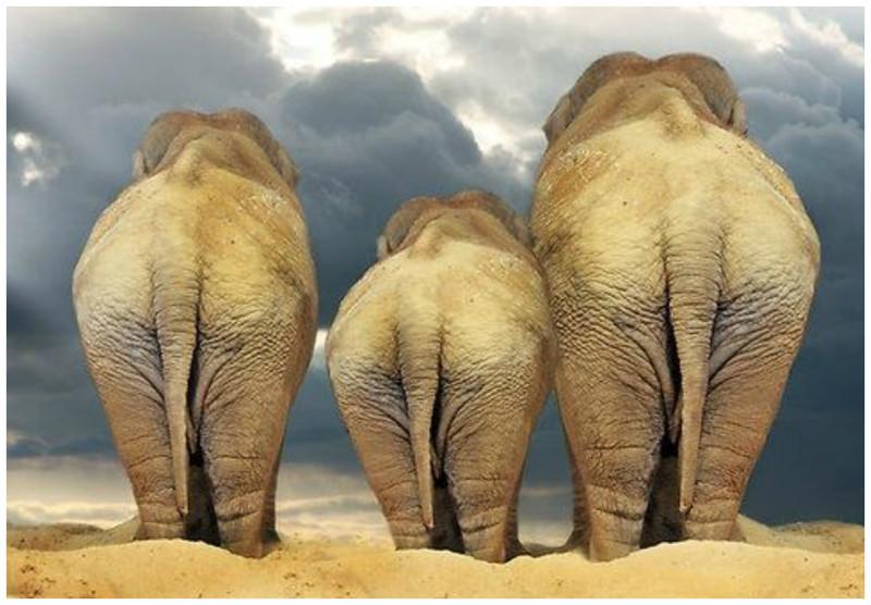 Слоны гомосексуальны