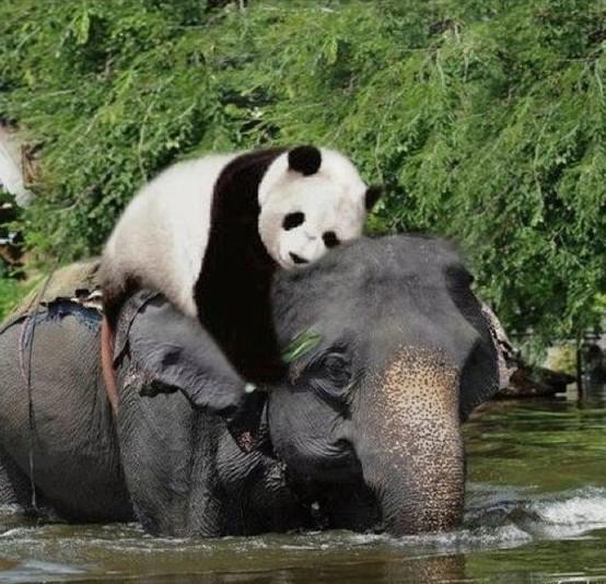 Картинки по запÑ€осу слон спасаеÑÂ' панду