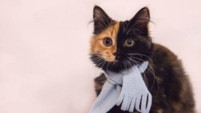 Яна - кошка с двумя лицами! гены, кошка, мутации, причуды природы