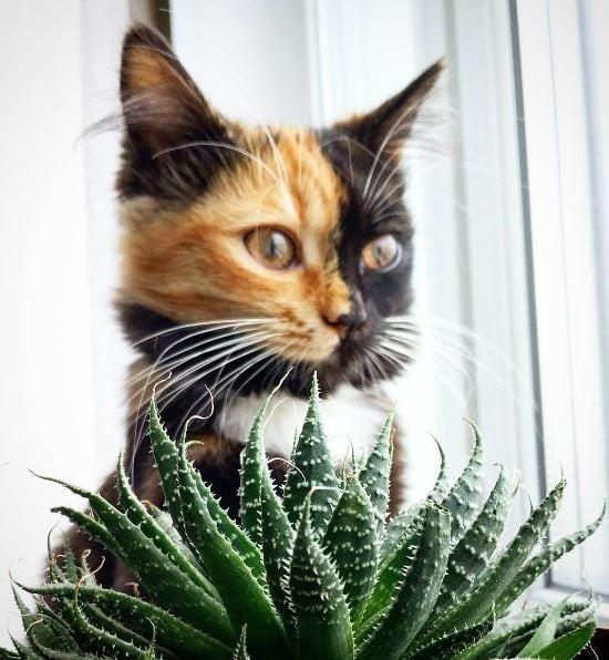 Не принцесса, нет... Королевна! гены, кошка, мутации, причуды природы