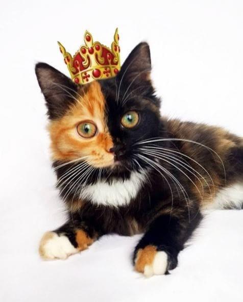 Корона ей к лицу! гены, кошка, мутации, причуды природы