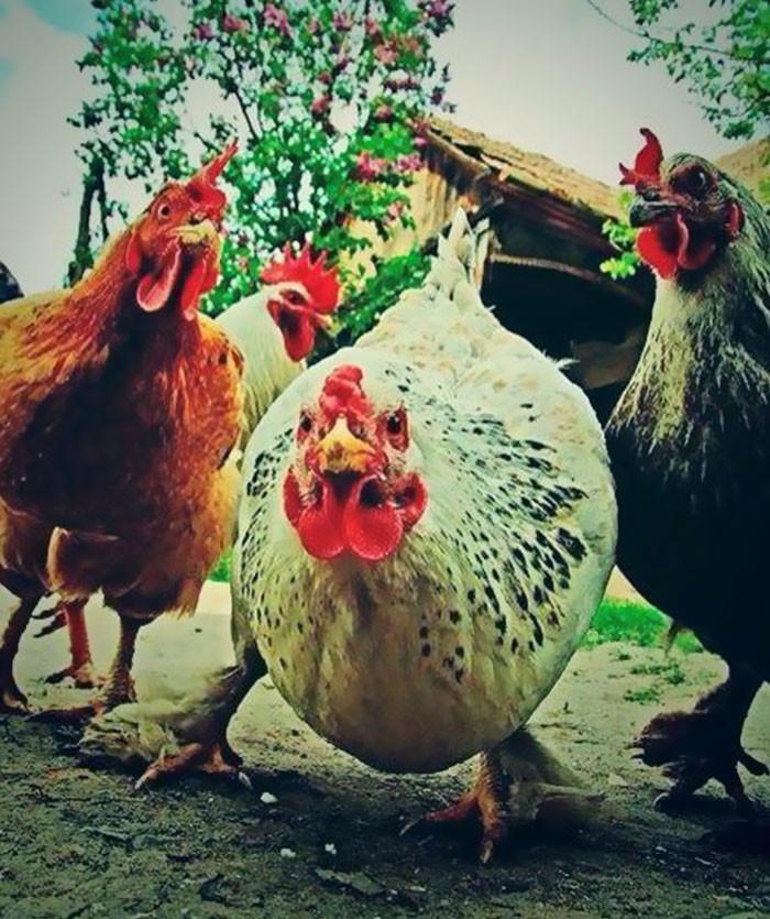 Картинки смешные курицы, называют смешные картинки