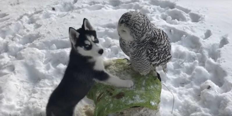 Хаски и полярная сова стали лучшими друзьями