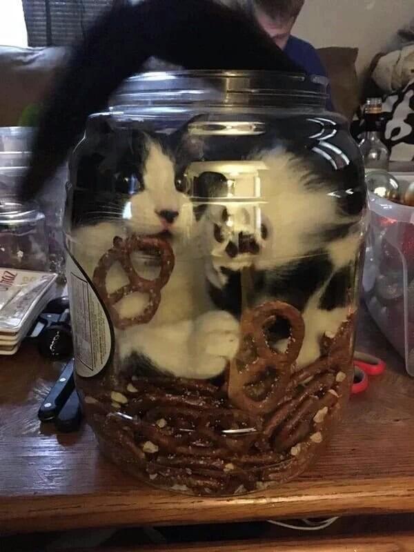 Отдельные экземпляры кошачьих - большие любители крекеров животные, котики, кошки, причуды, странные