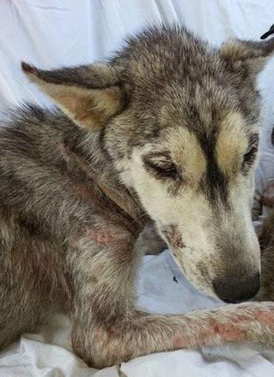На асфальте лежала полуживая собака, скрывая под животом самое ценное сокровище доброта, животные, собаки, спасение