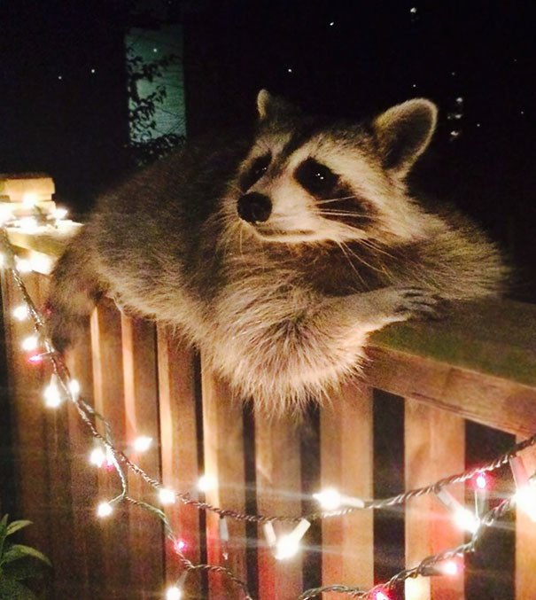 К кому-то в гости приходит вот такой красавец животные в городе, непрошеные гости