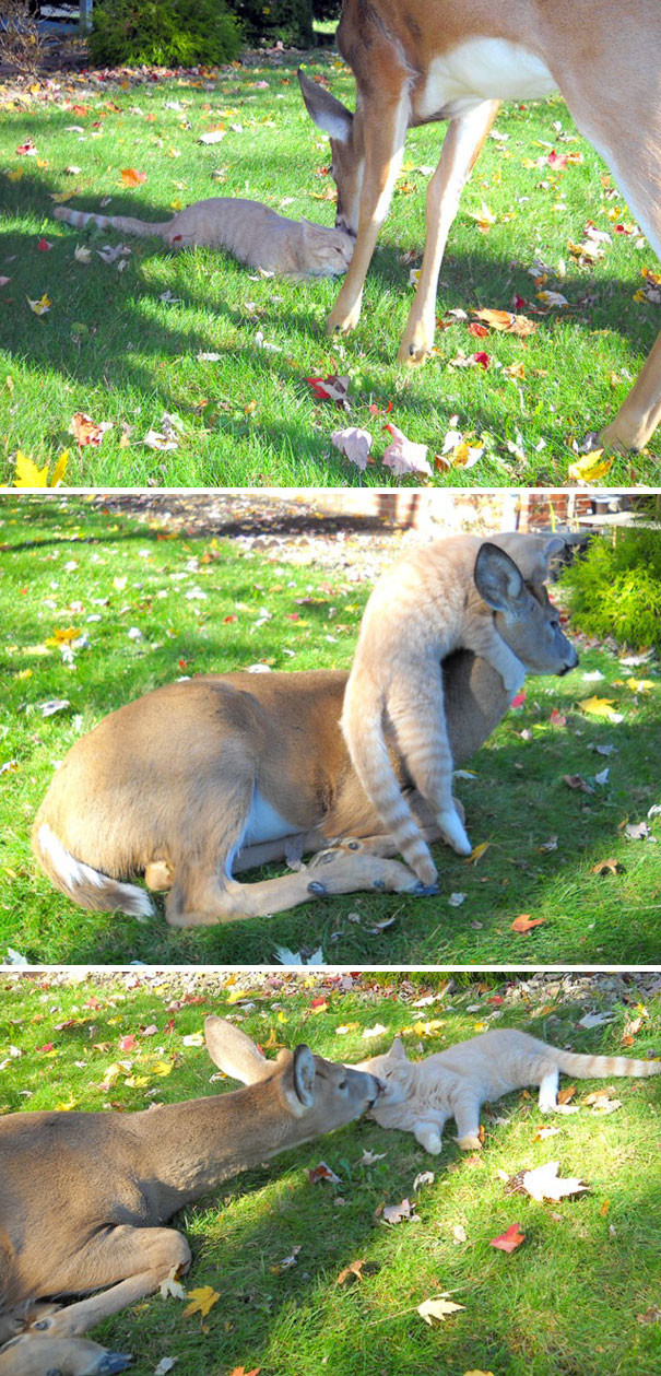 А эту кошку каждое утро навещает олененок животные в городе, непрошеные гости