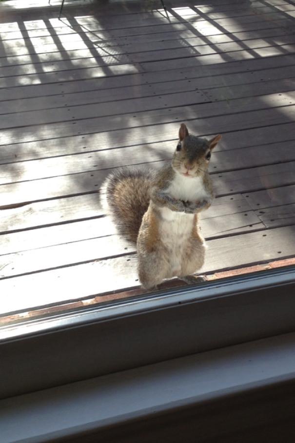 """""""Моя бабушка подкармливает белку орехами и та каждый день сторожит у двери"""" животные в городе, непрошеные гости"""