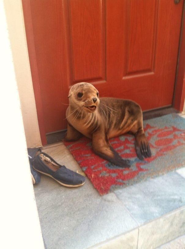 """""""Я живу рядом с  пляжем и этот парень просто решил нанести мне визит"""" животные в городе, непрошеные гости"""