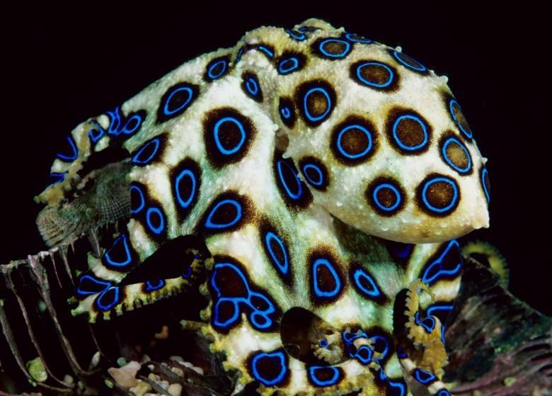 14. Синекольчатый осьминог животные, мир, страх