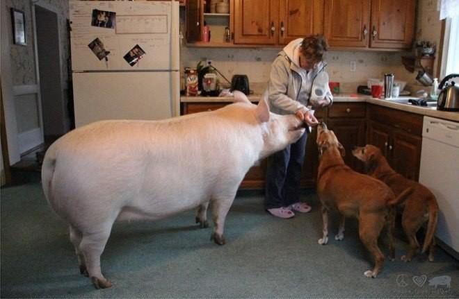 Думали декоративный поросенок, а оказалась гигантская свинья декоративный поросенок, животные, прикол, свинья, юмор