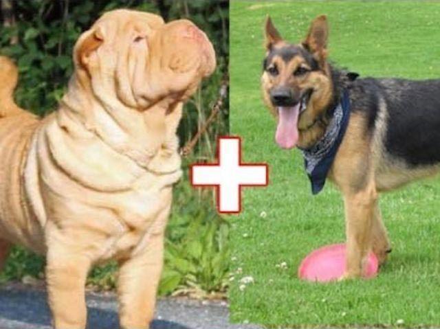 10. Шарпей + немецкая овчарка животные, скрещивание, собака