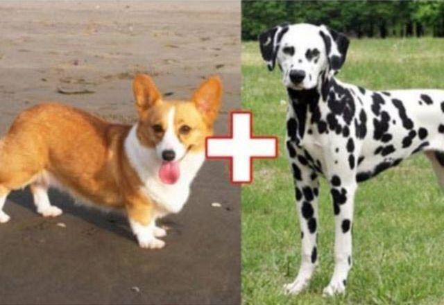 4. Корги + далматин животные, скрещивание, собака
