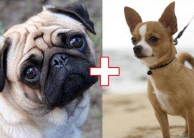 6. Мопс + чихуахуа животные, скрещивание, собака