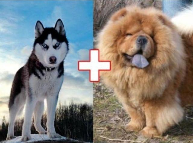 3. Хаски + чау-чау животные, скрещивание, собака