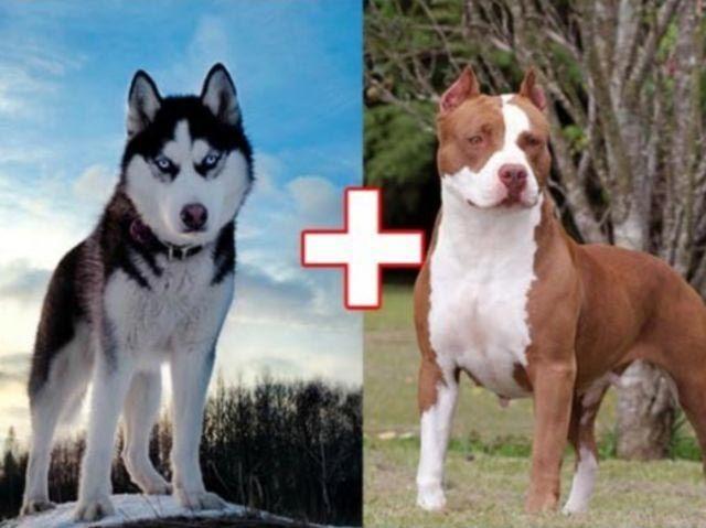 5. Хаски + питбуль животные, скрещивание, собака