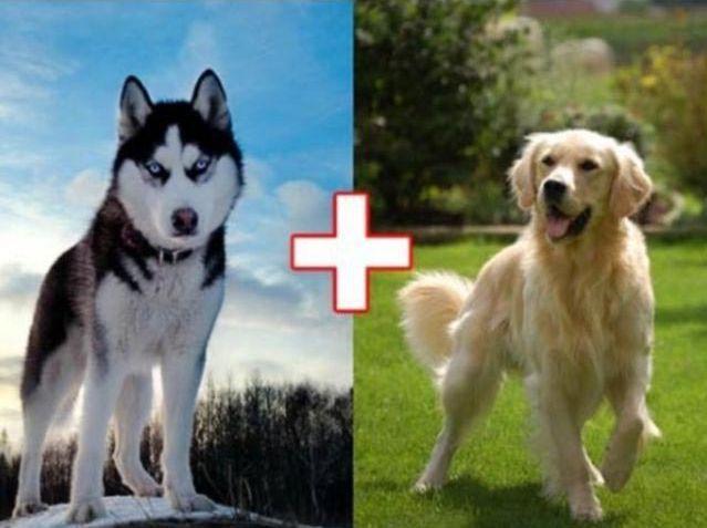 1. Хаски + золотистый ретривер животные, скрещивание, собака