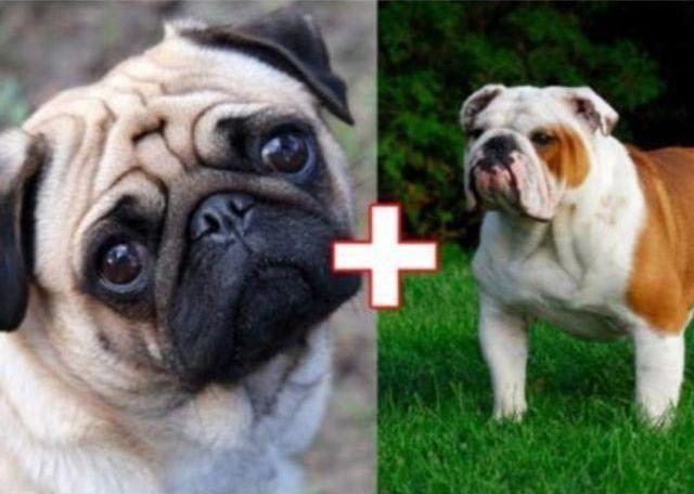 2. Мопс + английский бульдог животные, скрещивание, собака