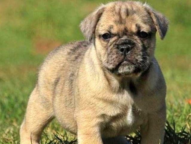 10 гибридов собак, полученных в результате сумасшедших скрещиваний животные, скрещивание, собака