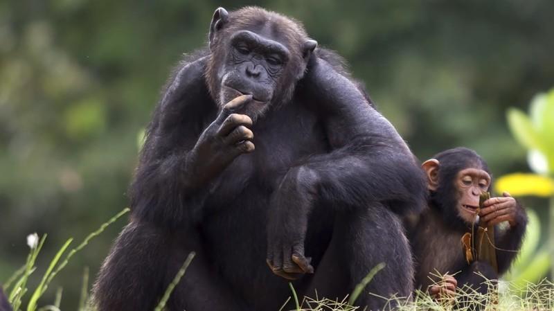 2. Шимпанзе животные, природа, факты