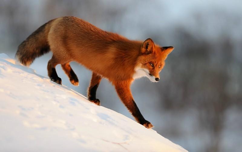 12. Рыжая лисица животные, природа, факты