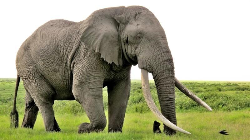 1. Слон животные, природа, факты