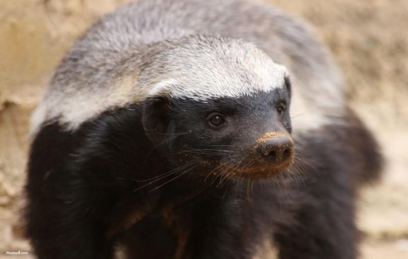 6. Барсук животные, природа, факты