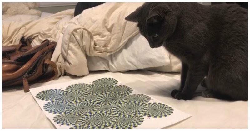 Реакция кота на оптическую иллюзию видео, животные, кот, оптическая иллюзия