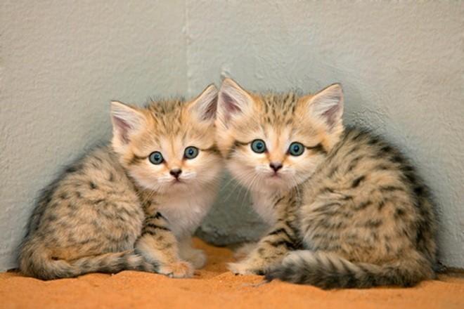 Дикие кошки, которые даже взрослыми выглядят как котята животные, коты, милота