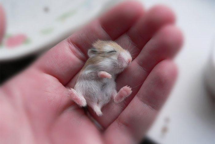 14. Новорождённый хомячок детеныш, животные