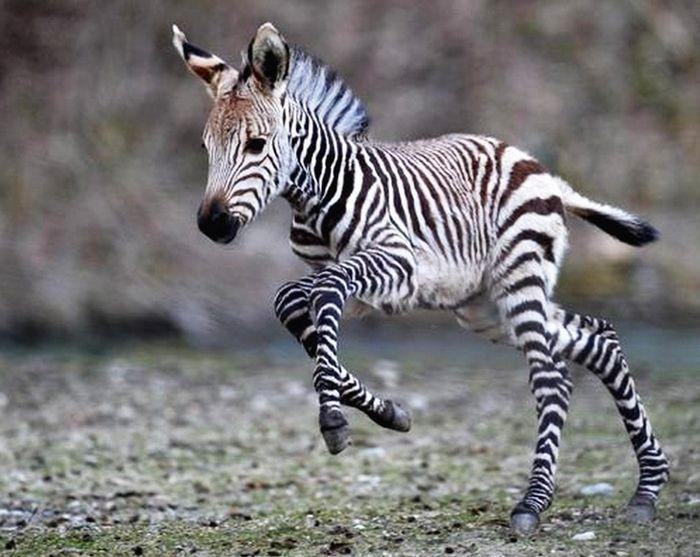 11. Зебрёнок детеныш, животные